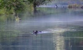 Orso grigio di nuoto fotografia stock libera da diritti