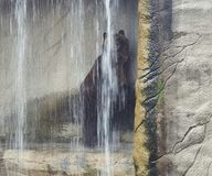 Orso grigio maestoso Immagine Stock Libera da Diritti
