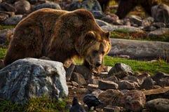 Orso grigio maschio vicino al parco nazionale di Yellowstone Fotografie Stock