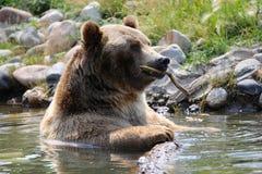 Orso grigio in Montana Stream Fotografie Stock