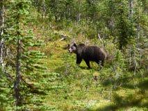 Orso grigio nei prati in Revelstoke Canada immagine stock libera da diritti