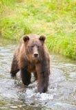 Orso grigio nel fiume, Hyder Alaska, U.S.A. immagine stock libera da diritti