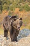 Orso grigio nordamericano ad alba in U.S.A. occidentale Immagine Stock