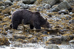 Orso grigio selvaggio Bear2 Fotografia Stock Libera da Diritti