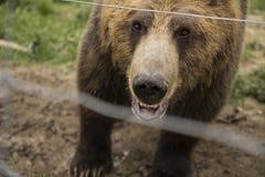 Orso grigio in uno zoo Immagine Stock