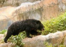 Orso himalayano in parco zoologico indiano fotografia stock libera da diritti