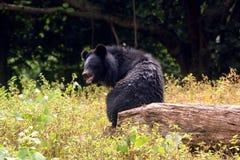 Orso himalayano in parco zoologico indiano fotografie stock libere da diritti