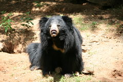 Orso indiano di bradipo fotografie stock libere da diritti