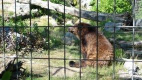 Orso ingabbiato in zoo Fotografie Stock