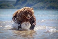 Orso in Kamchatka Fotografia Stock
