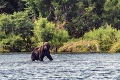Orso in Kamchatka Un orso bruno nell'acqua in Kamchatka, Russia fotografia stock libera da diritti