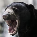 Orso malese Fotografia Stock Libera da Diritti
