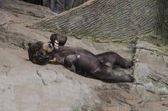 Orso malese che è allegro Fotografie Stock
