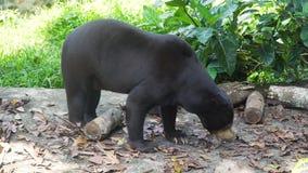 Orso malese di Sun Bali, Indonesia immagini stock libere da diritti