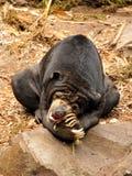 Orso malese di Sun (malayanus di Helarctos) immagine stock