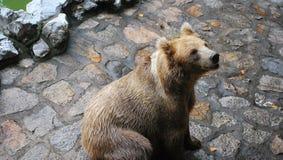 orso marrone fotografie stock libere da diritti