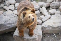orso marrone immagini stock