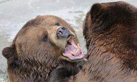 Orso marrone d'Alasca fotografia stock