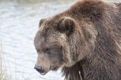 Orso marrone d'Alasca Fotografie Stock