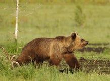 Orso marrone euroasiatico fotografie stock libere da diritti