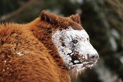 Orso marrone selvaggio immagini stock