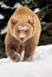 Orso marrone selvaggio fotografia stock