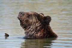 Orso nel lago Immagine Stock Libera da Diritti