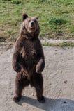 Orso nella cattività Fotografia Stock