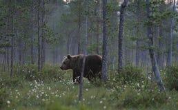 Orso nella foresta Immagini Stock Libere da Diritti