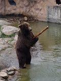 Orso nello zoo Fotografie Stock
