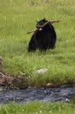 Orso nero Immagini Stock