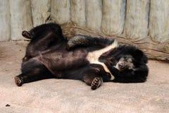 Orso nero Fotografia Stock Libera da Diritti