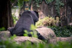 Orso nero Fotografia Stock