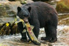 Orso nero, Alaska Fotografie Stock
