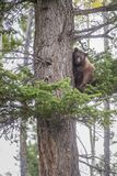Orso nero americano che scala un albero immagine stock libera da diritti