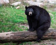 Orso nero americano che si siede su un circuito di collegamento di albero Immagini Stock