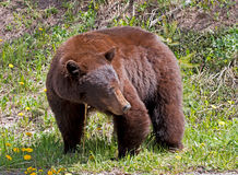 Orso nero americano della cannella Fotografia Stock Libera da Diritti