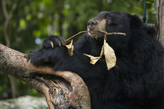 Orso nero asiatico Immagine Stock