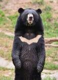 Orso nero asiatico Fotografie Stock Libere da Diritti
