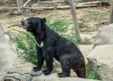 Orso nero asiatico Immagini Stock Libere da Diritti
