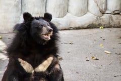 Orso nero asiatico all'azienda agricola del coccodrillo di Samut Prakan ed allo zoo, Thail Immagini Stock
