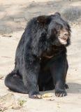 Orso nero asiatico, orso nero tibetano Fotografia Stock