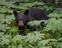 Orso nero attento in Forest Growth spesso fotografia stock libera da diritti