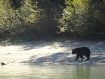 Orso nero che cammina lungo la riva nel Canada, Columbia Britannica Fotografie Stock Libere da Diritti