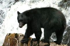 Orso nero che cerca salmone a principe Of Whales nell'Alaska Fotografia Stock Libera da Diritti