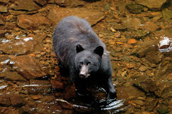Orso nero che cerca salmone a principe Of Whales nell'Alaska Immagini Stock Libere da Diritti