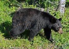 Orso nero della madre Fotografia Stock Libera da Diritti