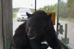 Orso nero di Terranova Fotografia Stock
