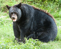 Orso nero maschio Immagini Stock Libere da Diritti
