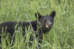 Orso nero nel campo fotografie stock libere da diritti